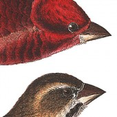 Plate 4 Purple Finch final 2