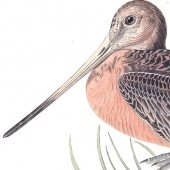 plate 238 great marbled godwit